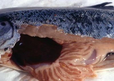 Dark liver due to congestion and diffuse haemorrhage attributed to infection by infectious salmon anaemia virus