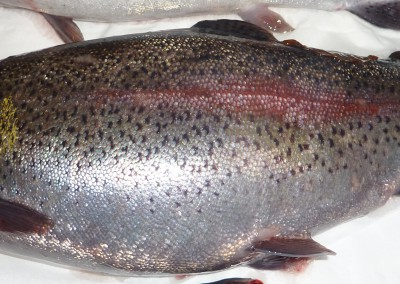 Abdominal distention and reddened area on lateral line of rainbow trout.