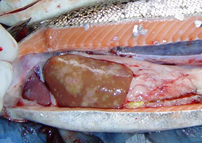 Liver with multiple whitish, sligthly raised and circular lesions with reddish center consistent with granulomatous hepatitis attributed to Piscirickettsia salmonis in  Atlantic salmon