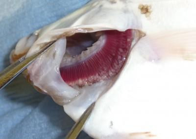 Club-like, distal, proliferative gill lesions of unknown origin in flat fish