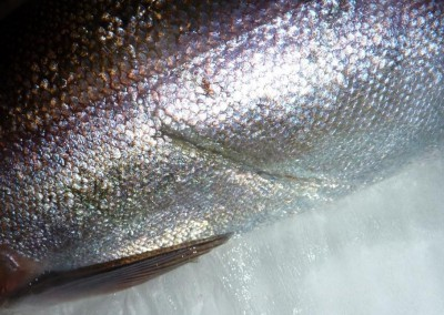 Healed sharply demarcated linear lesion attributed to mechanical damage on Atlantic salmon (courtesy of FHI)