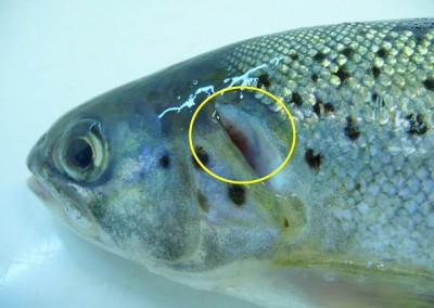 Shortened operculum in rainbow trout