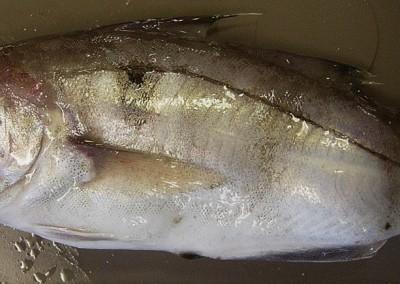 Spinal deformity in cudal body part of haddock