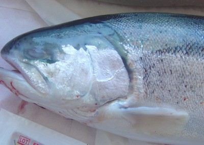 Anophthalmia noted from Atlantic salmon