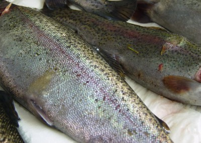 Focal yellowish raised lesion ventral of lateral line consistent with early stage of red mark syndrome on rainbow trout