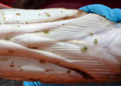 Numerous Argulus on ventral surface of freshwater fish (courtesy of FHI)