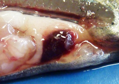 Splenomegaly and blurred spleen margins due to Flavobacterium psychrophilum infection in rainbow trout fry (RTFS= rainbow trout fry syndrome).