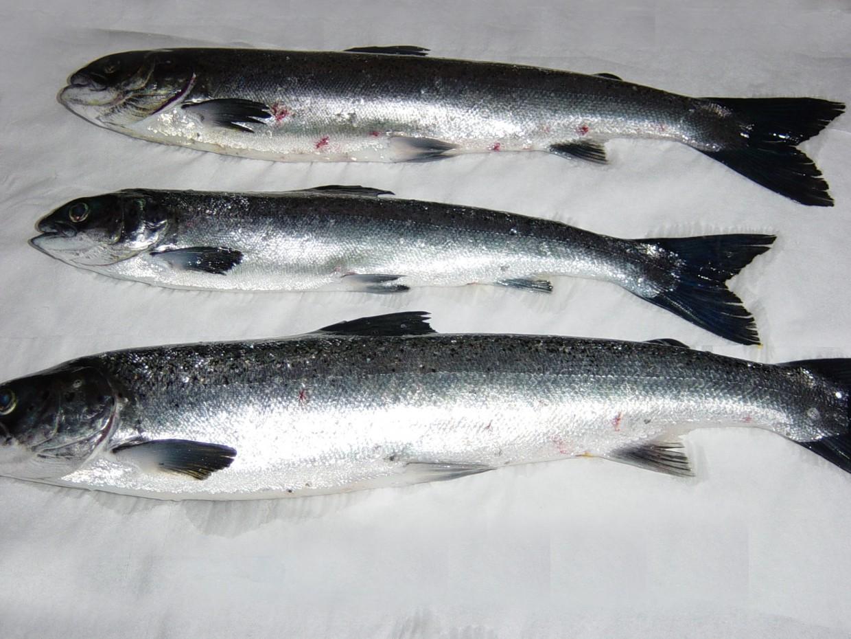 Fish Pathology Archive